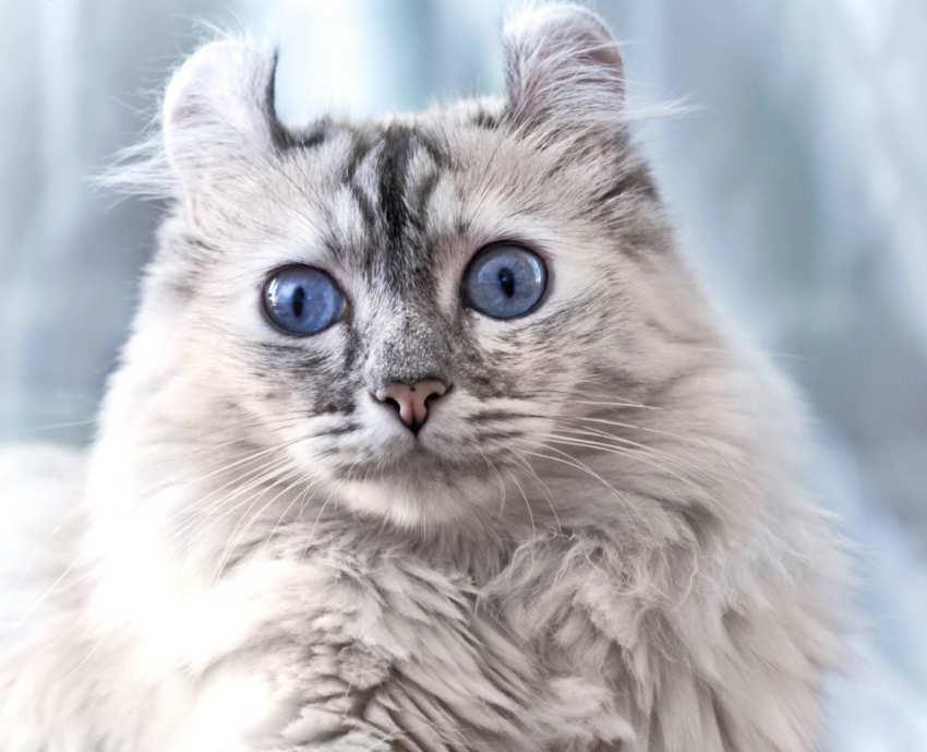 American Curl - razas de gatos pequeños