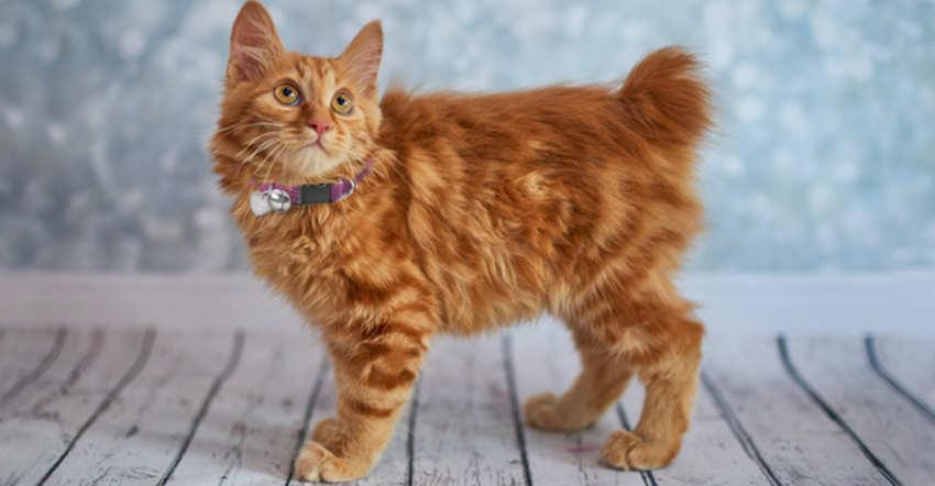 Bobtail americano - razas de gatos grandes