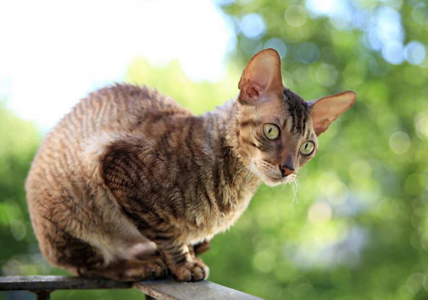 Cornish Rex - razas de gatos pequeños