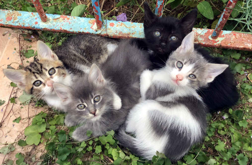gatos semipersas