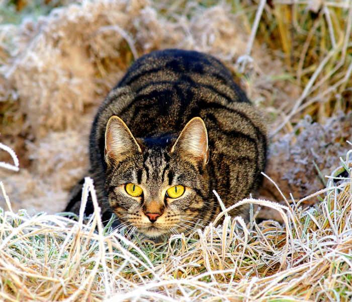 gato-postura-acechante