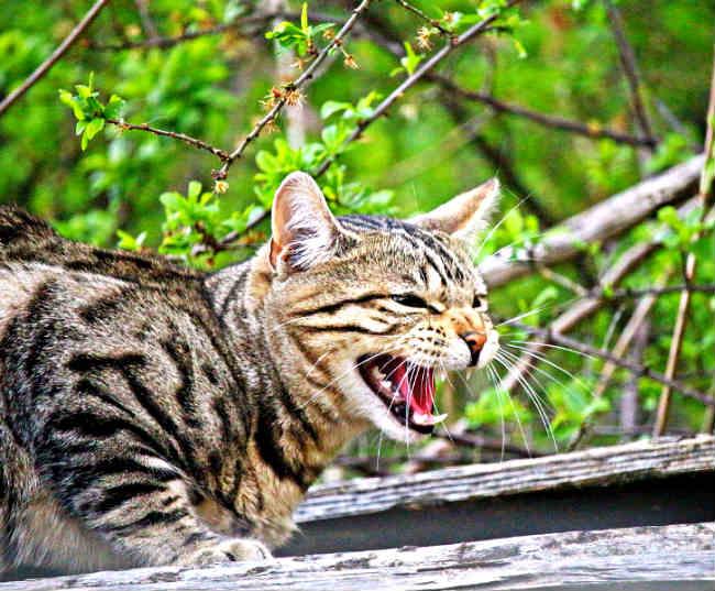 por que los gatos bufan