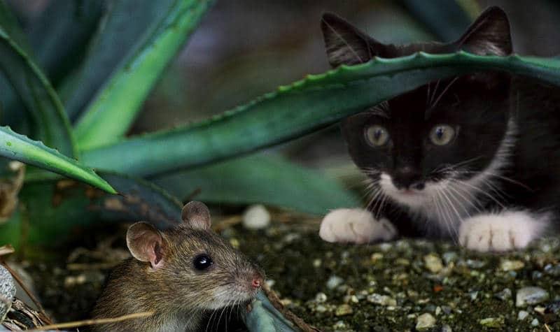 gato caza ratón