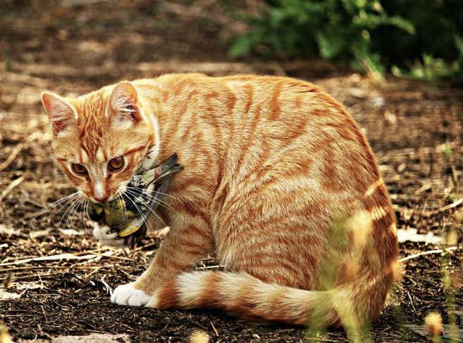 gato-trayendo-regalo-a-humano