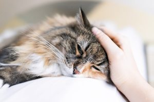 tratamiento herpesvirus felino