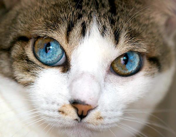 heterocromia en gato sectorial