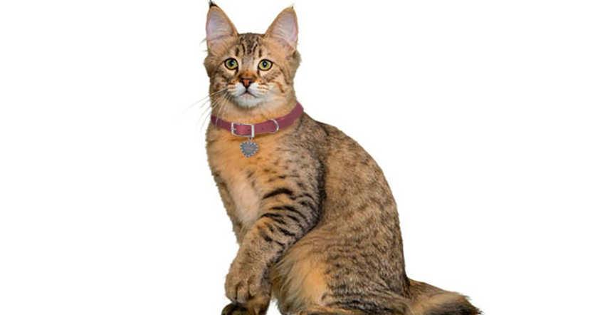 Pixiebob - razas grandes gatos