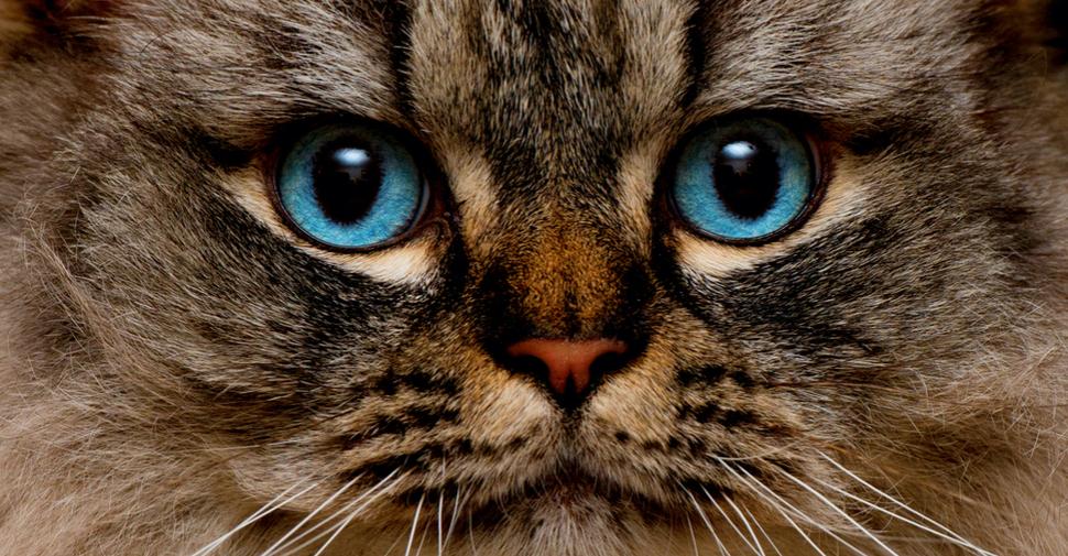 Ragamuffin - razas de gatos grandes