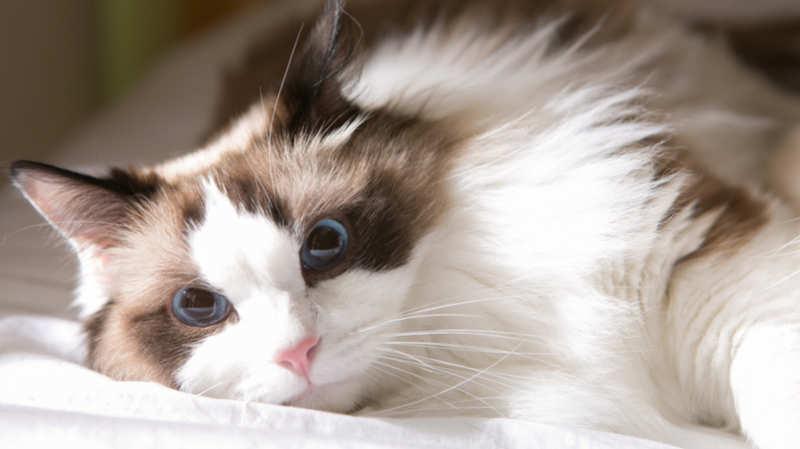 Ragdoll - razas de gatos grandes