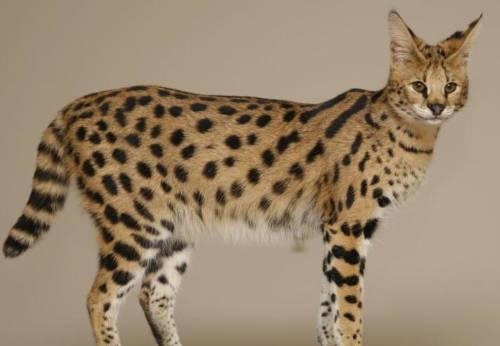 razas de gatos inteligentes