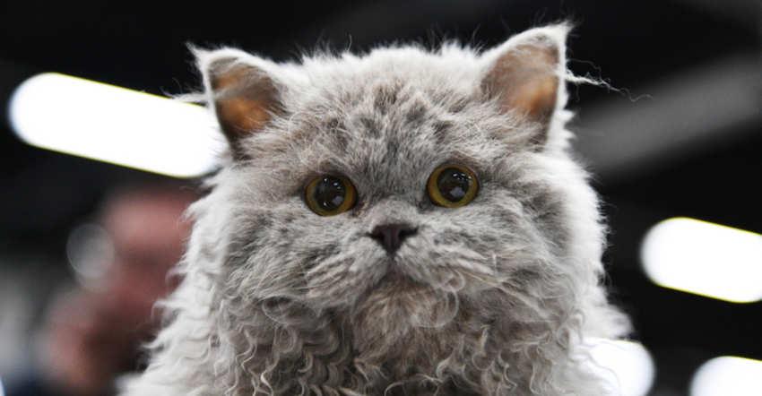 Selkirk Rex - razas grandes de gatos