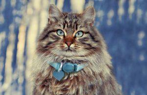 Siberiano - razas de gatos grandes