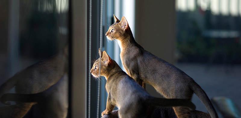 curiosidad del gato abisinio