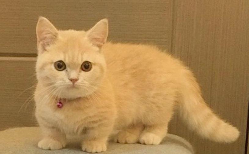 aspecto del munchkin cat