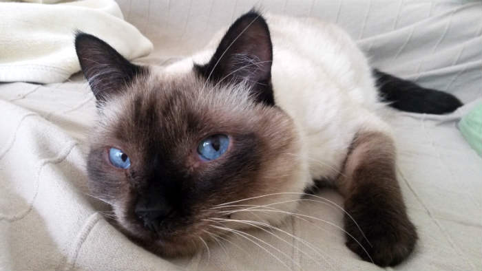 gato balinés enfermo