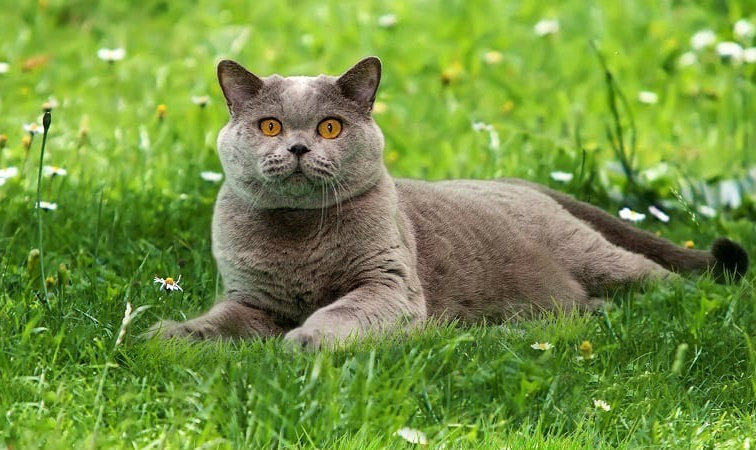 british shorthair 8
