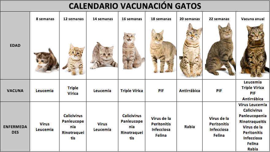 calendario-de-vacunas-para-gatos