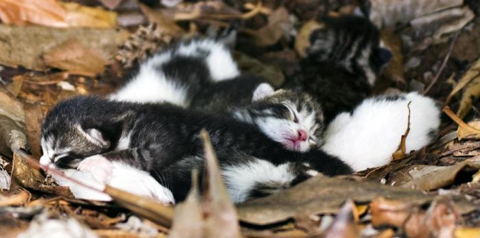 cuántos gatitos pueden tener los gatos