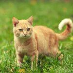 cancer de piel en gatos