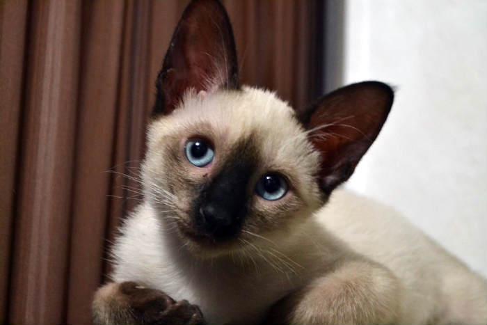 gatito balinés pensando