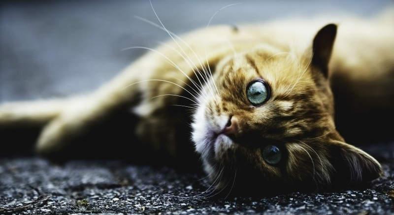 mitos sobre gatos