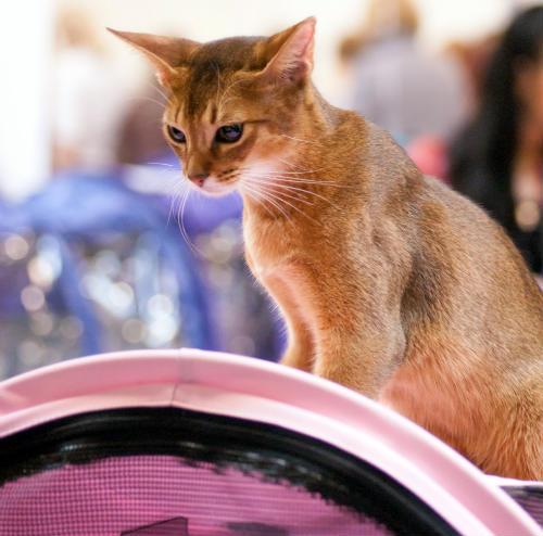 un gato abisinio