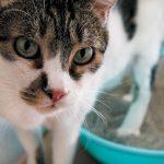 colitis en gatos