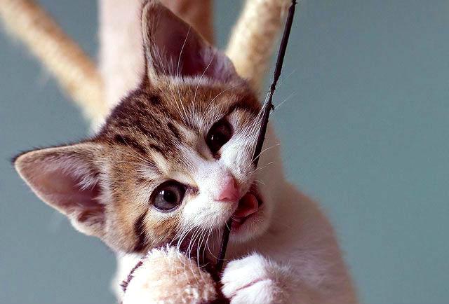 dentición en gatitos