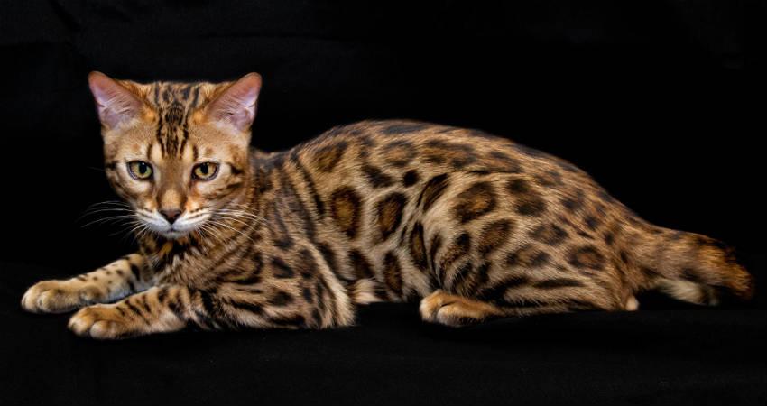 el gato bengali es hipoalergenico