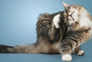 enfermedad de la piel en gatos