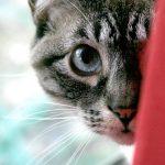 estres en gatos