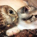 los búhos atacan a los gatos?