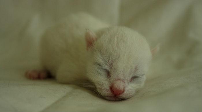 gatito desvanecido