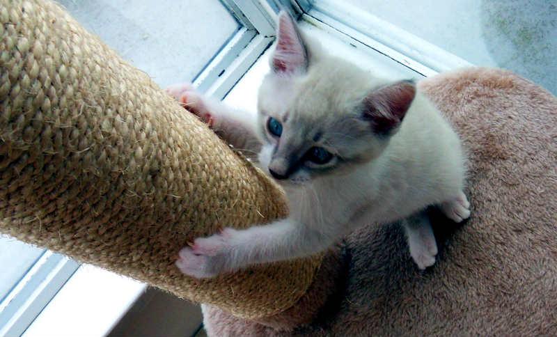 gatito con su rascador