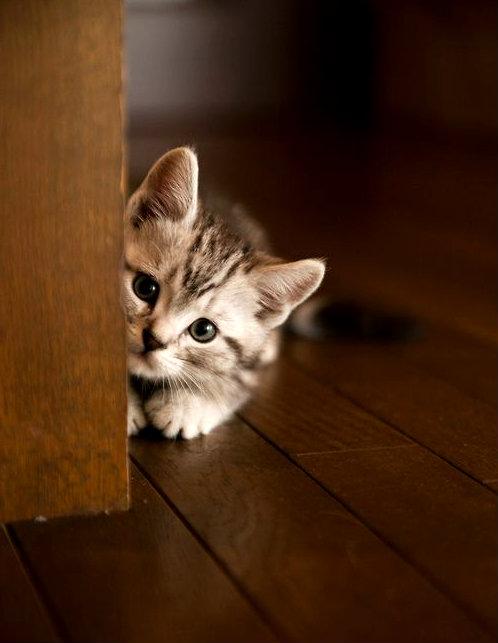 socializar un gatito tímido