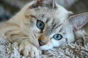 por-que-los-gatos-amasan