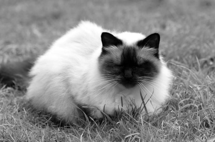 gato balines