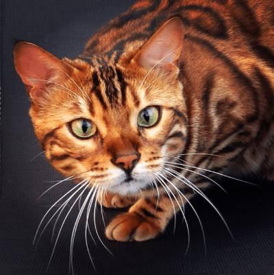 gato bengalí personalidad