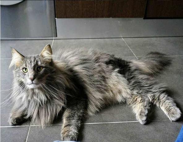 gato-bosque-de-noruega