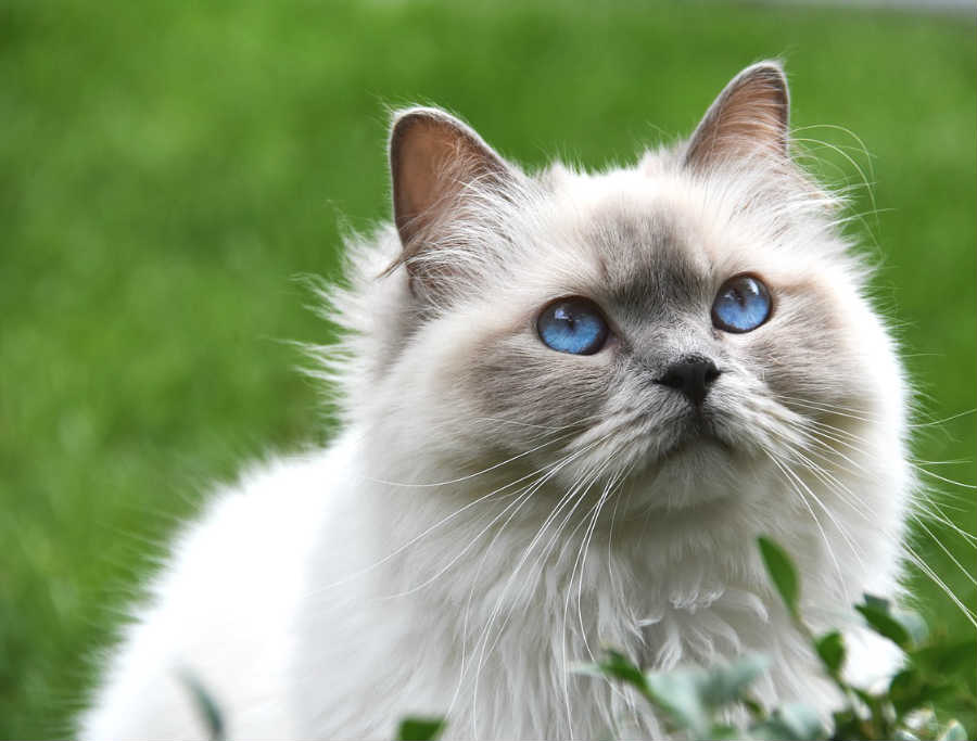 Colores De Ojos En Gatos Paragatitos