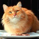 mejor-comida-gato-diabetes