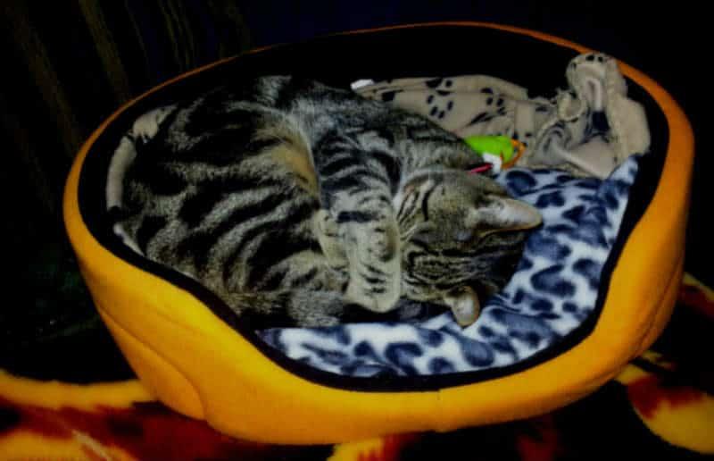 gato durmiendo en su cama