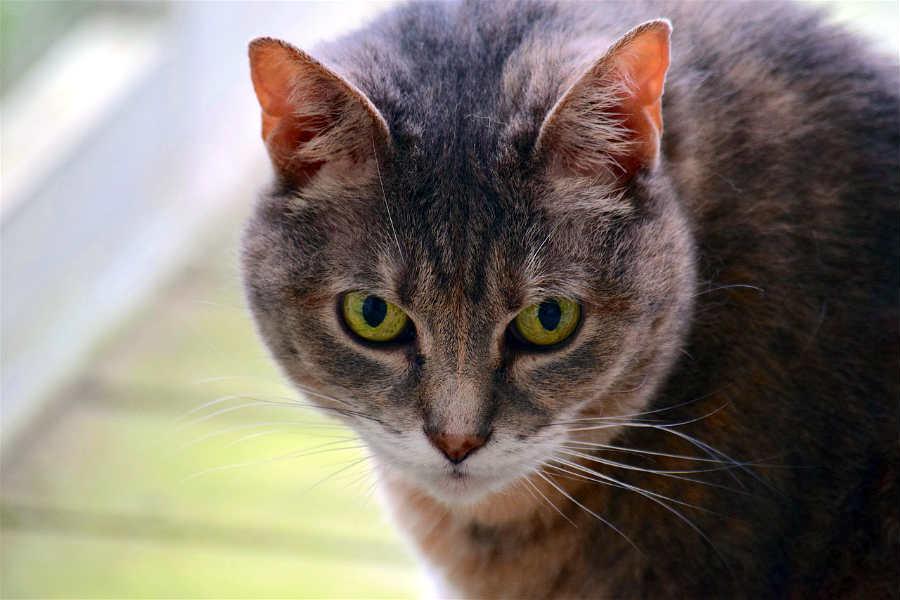 estrés-en-gatos
