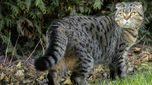 gato fold escocés