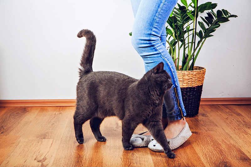 gato-frotandose-con-su-dueño