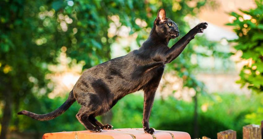 gato hipoalergénico oriental