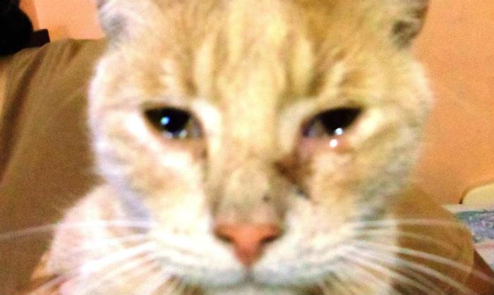 gato infección ojos