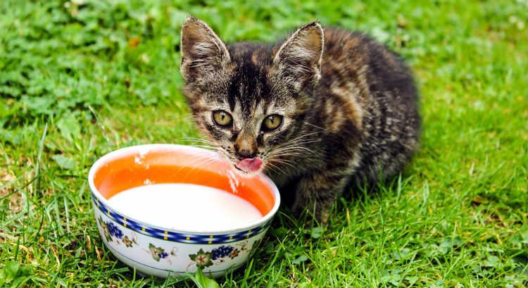 gatito bebiendo leche