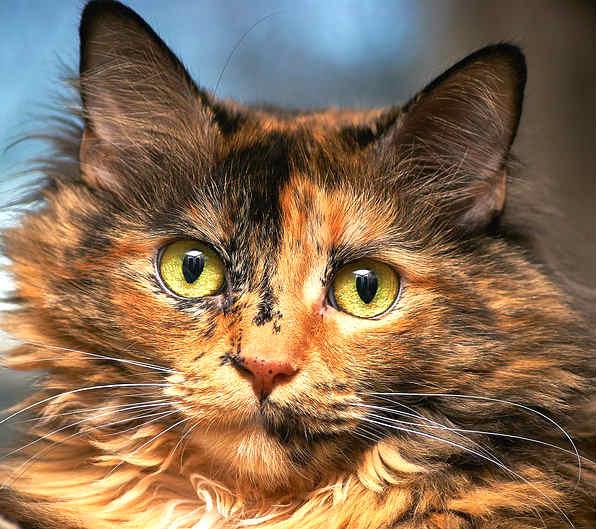 color ojos gatos