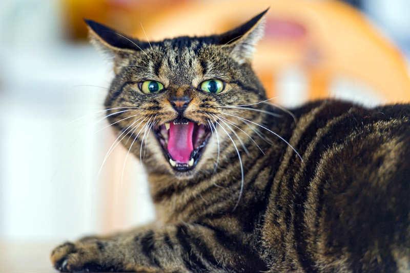 vacunas-para-gatos-rabia